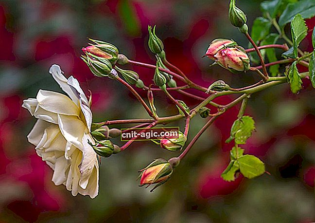 Krøllete roser