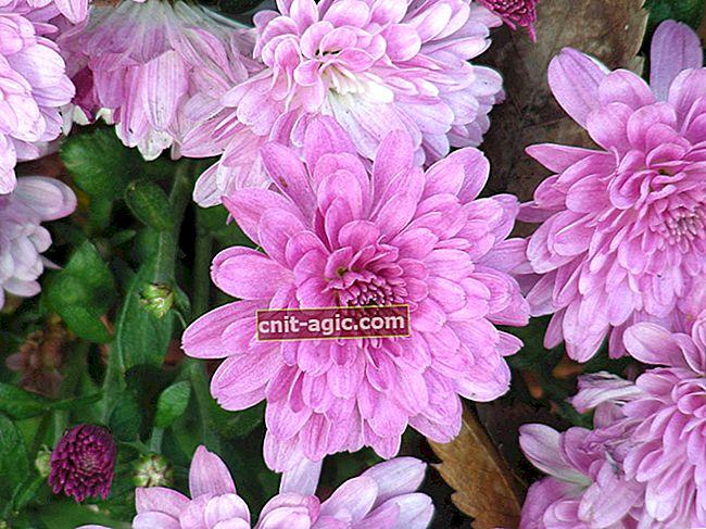 Krysantemum koreansk