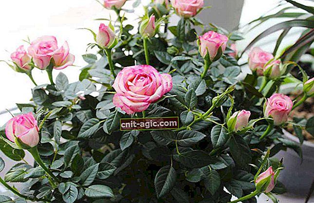 Roses of Cordana