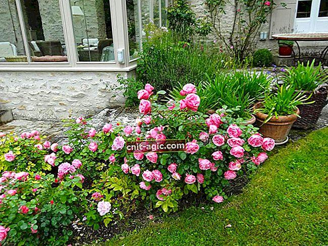 Roser fra frø