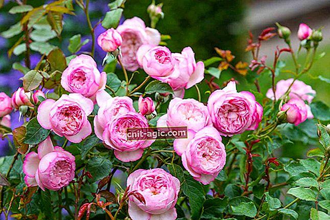 Rose transplantation