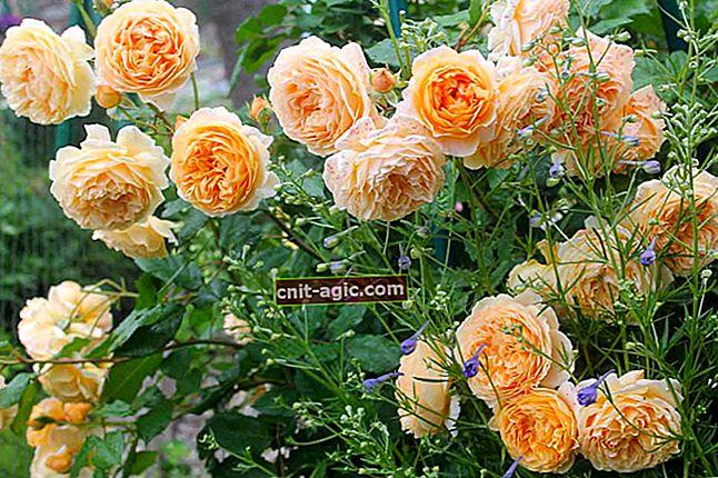Engelsk roser
