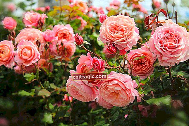 Billeder af de smukkeste arter og sorter af roser