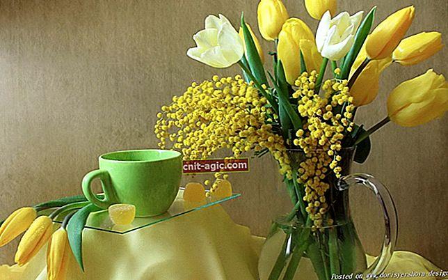 Sølvakacia (mimosa)