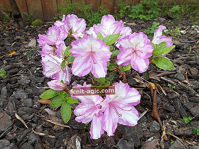 Blomstrende pelargonium: udendørs pleje, overvintring