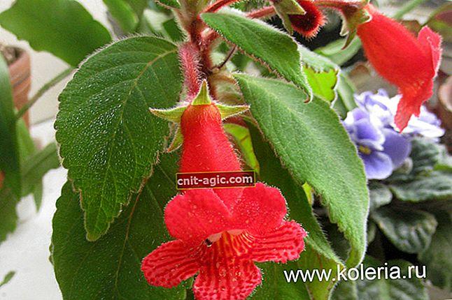 Populære indendørs blomster, der blomstrer hele året rundt