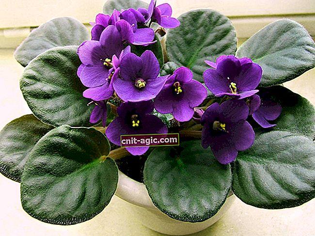 Violet (Saintpaulia)