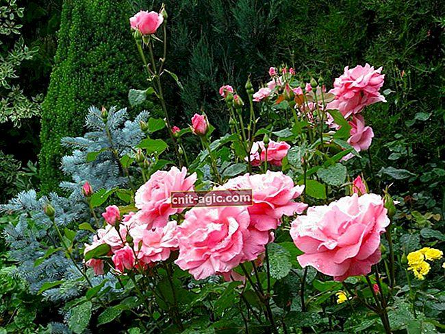 Roser af grandiflora