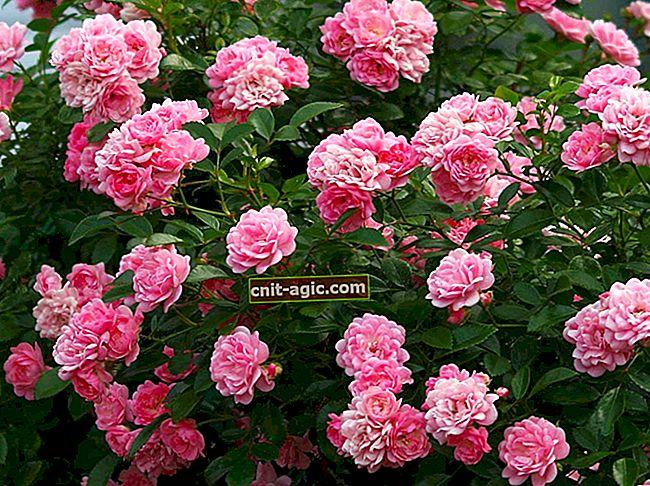 Polyanthus roser