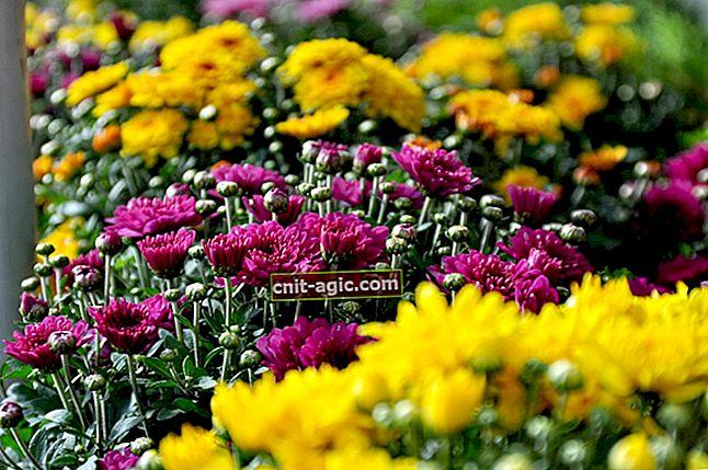 Multiflora af krysantemum