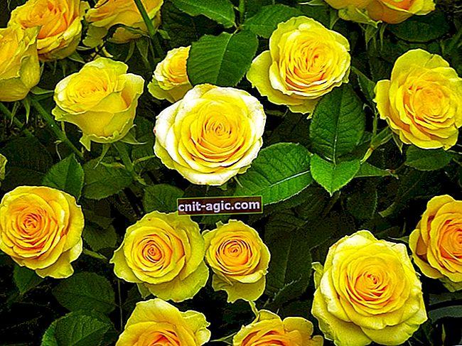 Rose farver