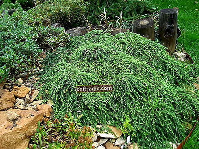 Canadisk Hemlock 'Cole's Prostrate'