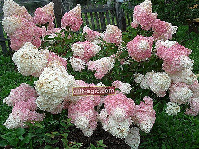 Stalket hortensia: plantning og pleje, brug i landskabsdesign
