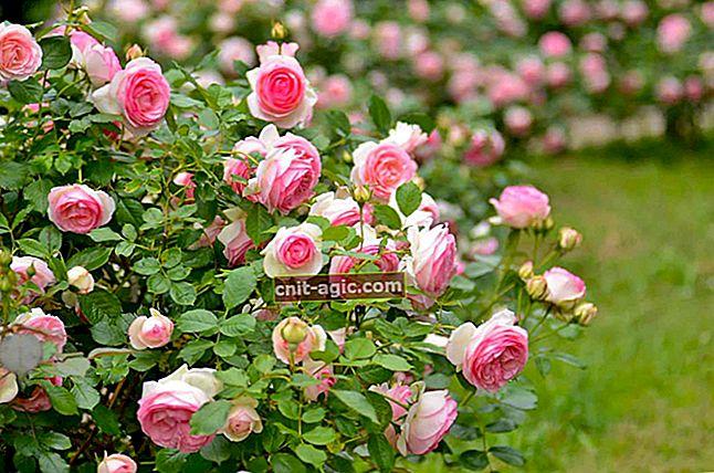 Parker roser