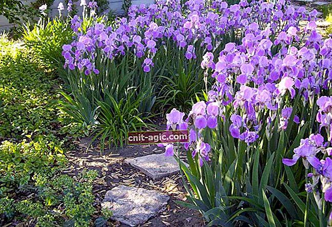 Iriser - plantning af en blomsterregnbue i deres sommerhus