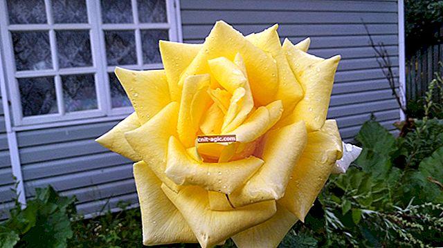 Hvordan man vælger rosenplanter