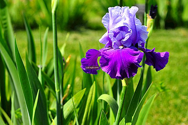 Charmerende iriser i blomsterbedet