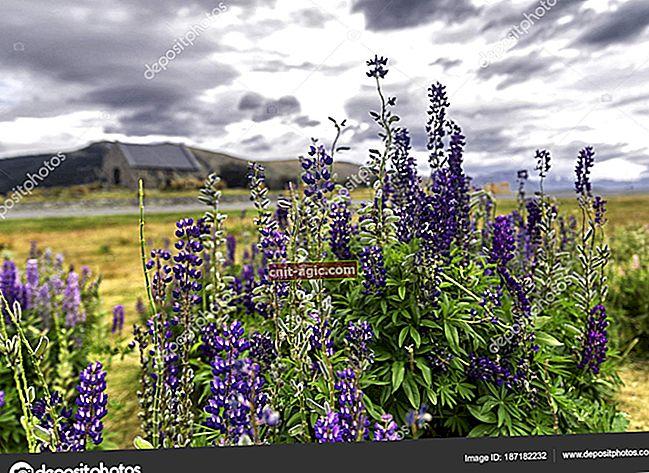 Foto de flores de tremoço
