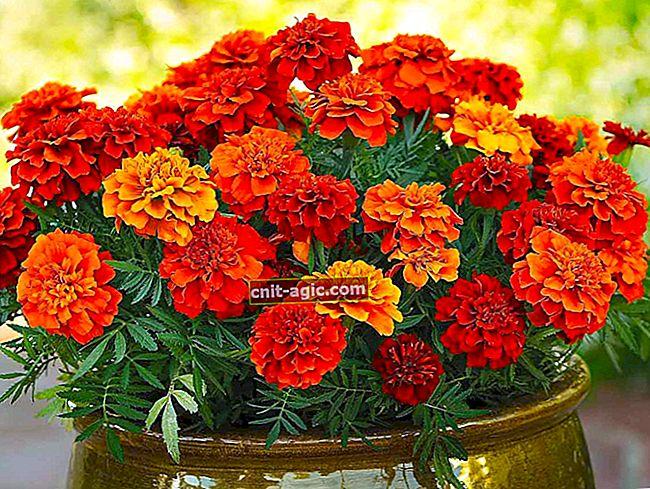 Marigolds para o jardim e jardim - dicas úteis