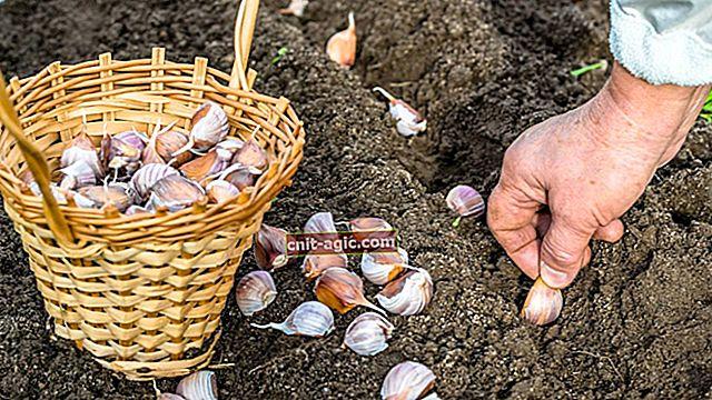 Como plantar alho corretamente