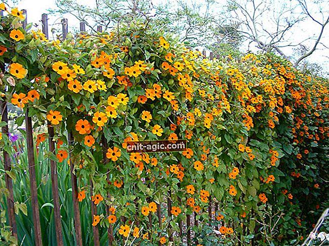Como cultivar vinhas com flores para o jardim