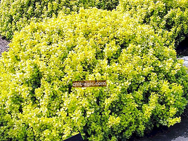 Barberry Thunberg Goldalita