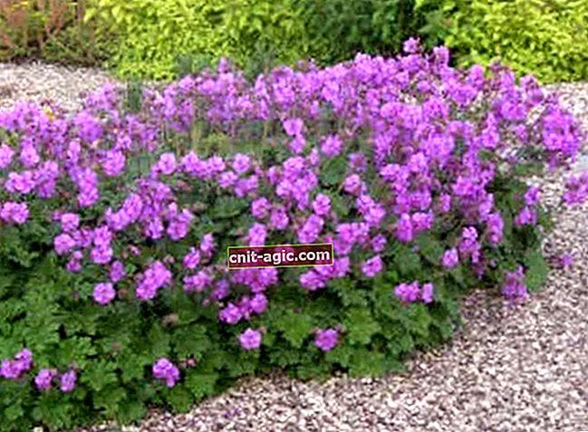 Have geranium