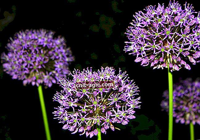 Allium eller dekorativ bue