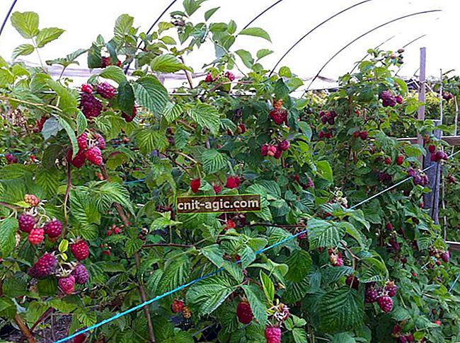 Hvordan få en god høst av bringebær