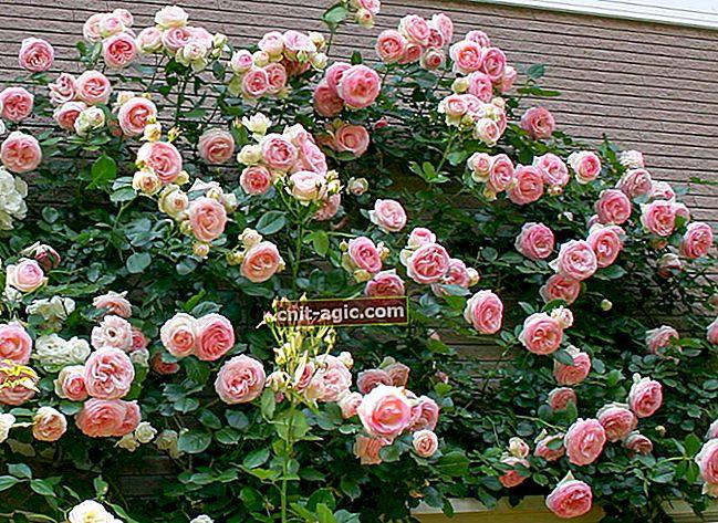 Hekk av roser